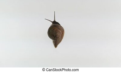 snail over white - Garden Snail, Helix aspersa over white...