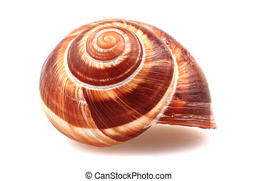 snail shell isolated on the white background