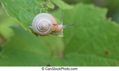 Snail sits and crawls on edge of a green leaf - Snail...