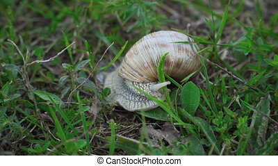 snail sits in green grass - The snail sits in the green...
