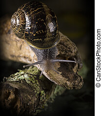 Snail sliding on a branch. Gastropod mollusk