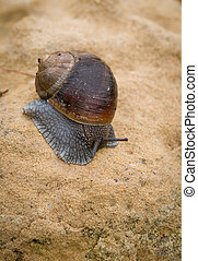 Snail, slow motion - Close-up of a crawling snail on brown a...