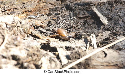 Snail slowly crawling on the ground - A snail slowly...
