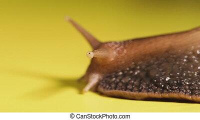 Snail. Snail creeping on a yellow background. Macro shot.