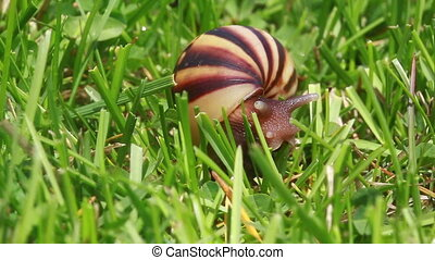 Snail - Slow-moving snail on the green grass