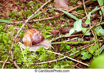 snail - brown snail on green background