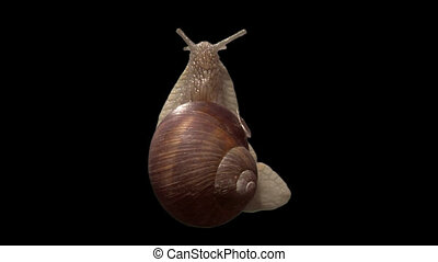 snail top isolated 01 - Isolate garden snail