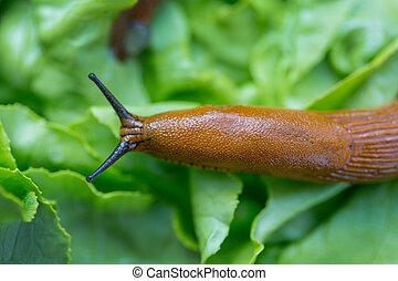 a slug in the garden eating a lettuce leaf. schneckenplage in the garden