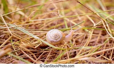 Snail with shell crawls slowly on dry grass or straw out of...