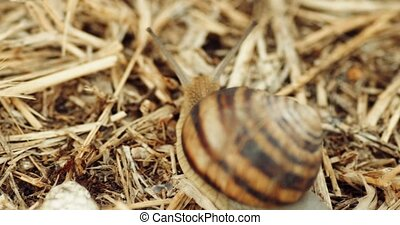 Snail with stripped shell crawls slowly on dry grass or straw in 4K