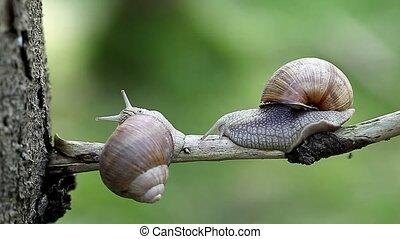 Snails-Helix pomatia - Snails-Helix pomatia