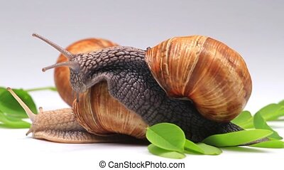 snails on a white background with green foliage, wildlife,...