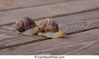 Snails on a wooden board - Meeting two snails on a wooden...