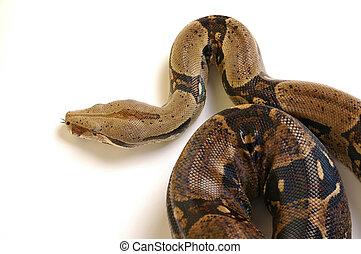 Snake 15 - Head of real snake 15