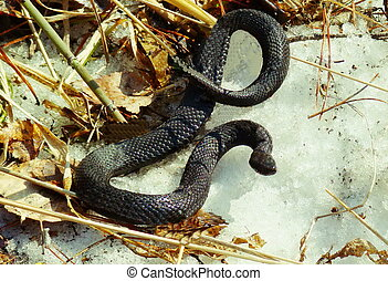 Snake a viper on snow - The snake a viper crept out in the...