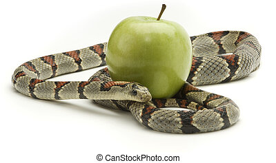 Gray banded kingsnake coiled around and apple on a white background