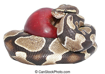 Snake and Apple - Snake and red apple isolated; temptation...
