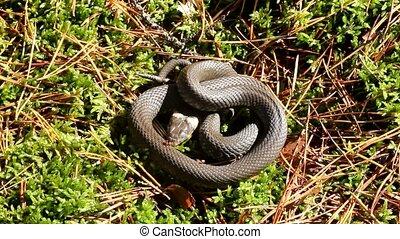 Autumn snakes behave very sluggishly.