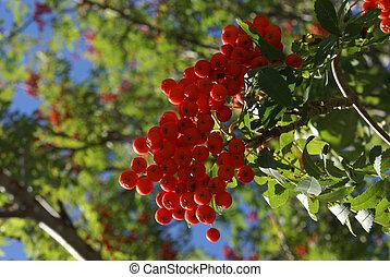Snake Berries Ripened