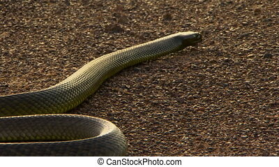 Snake Body And Tail Slither Away - Steady, medium close up...