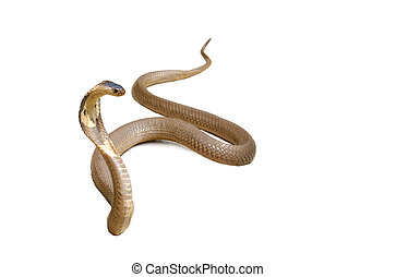 Snake Cobra - Hooded cobra isolated with clipping path on...