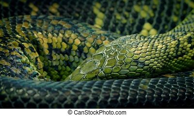 Snake Coiled Up Breathing Slowly - Closeup of snake coiled...
