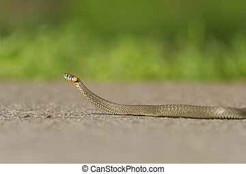 snake crawling on paved road
