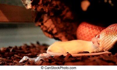 Snake eats a white mouse
