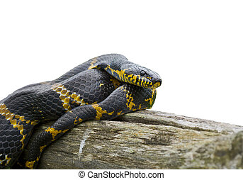 A close-up of Schrenck's rat snake (Elaphe schrenckii) on log.