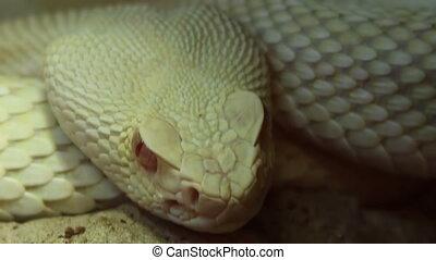 Snake Eye - Terrifying close up shot of reptilian pit viper...