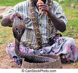 Fakir Snake charmer playing musical instrument before King cobra (Ophiophagus hannah) snake at a basket (focus on snake)