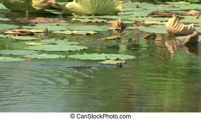 Snake floating on water,