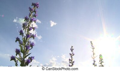 Snake Grass flower on bright sky background. Echium vulgare