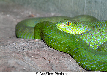Green snake or green pit viper in nature of thailand