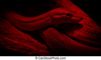 Snake In Heat Lamp - Snake on branch under red light