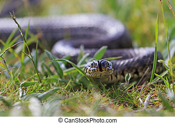 Grass snake with protruding tongue