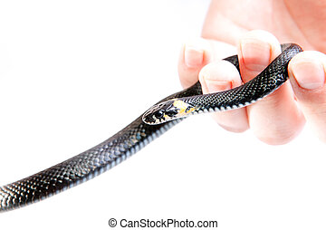 Snake in the hand isolated on white background.