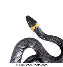 Snake isolated on white background.