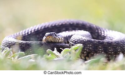 snake lies in the grass and sticks out its tongue, wildlife,...