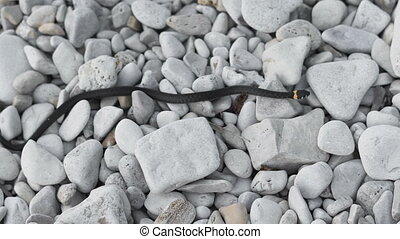 No poisonous snake crawls on the rocks. Snakes are part of...