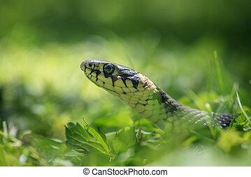 snake portrait on green grass background