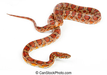 snake.elaphe guttata.young boa constrictor on a white...