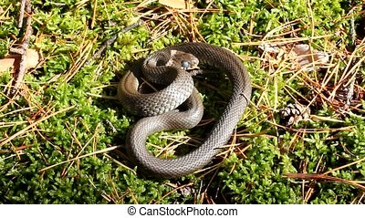 Snake - Autumn snakes behave very sluggishly.