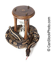 Snake with hourglass - Royal Python with hourglass on white...