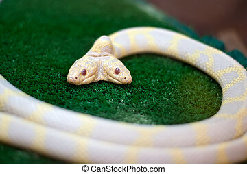 Snake with two heads - Mutant snake with two heads (no...