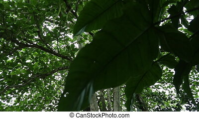 Snake Wood Tree And Rainforest Canopy, Costa Rica - Medium...