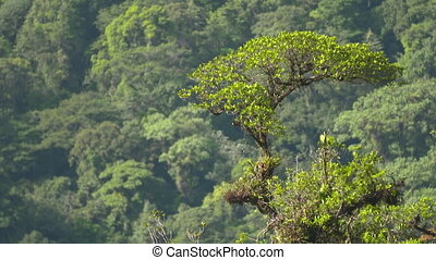 Snake Wood Tree In Tropical Rainforest, Costa Rica