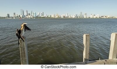 snakebird on Swan River jetty - Australian snakebird on a...