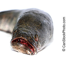 snakehead is a ferocious fish isolated on white