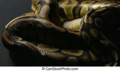 Snakeskin of ball python in shadow - Footage of royal ball...